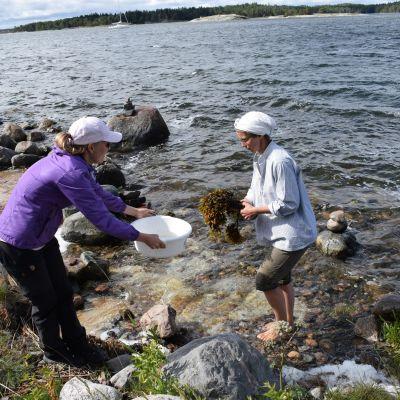 biologit tutkivat rakkohaurua(levää), Kasnäs, Kemiönsaari