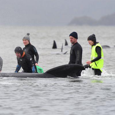 Pallopäävalaita jumissa lahdessa, ihmisiä pelastamassa