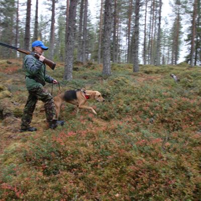 Anne Kärki ja venäjänajokoira Lissu etsivät sopivaa aloituskohtaa metsästyksen aloittamiseeen.
