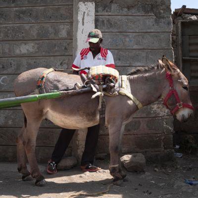 Fredrick Otieno vuokraa nyt aasin kolmen euron päivähintaan, jotta voi jatkaa työtään.