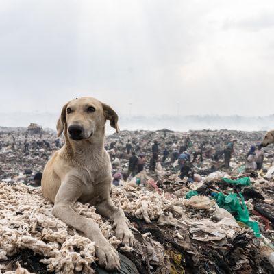 Koira makaa roskien seassa Dandoran kaatopaikalla Nairobissa