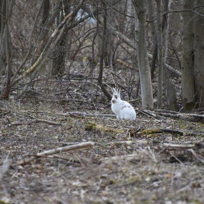 Valkoinen jänis istuu lumettomassa metsässä.