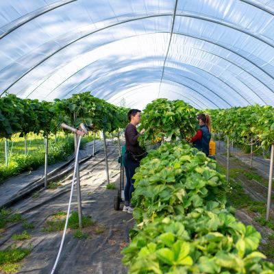 Kuvassa mansikkaa kasvutunnelissa