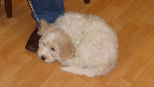 Em liten vit lurvig hundvalp ligger hoprullad på ett laminatgolv. Vilar vid sina mattes fötter.