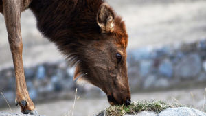Aikoinaan kymmenet tuhannet vapitit, isokauriiden lähisukulaiset, vaelsivat Yellowstonen laaksoissa