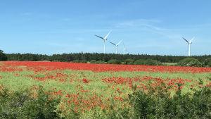 Blomsteräng med röd vallmo och några vindkraftverk i bakgrunden.