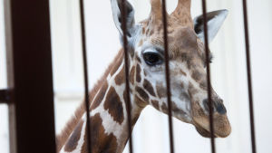 En giraff på ett zoo.