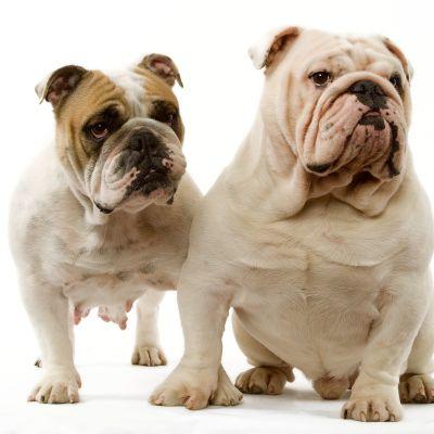 två engelska bulldogar bredvid varandra.