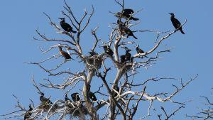 Storskarvar sitter på trädgrenar.