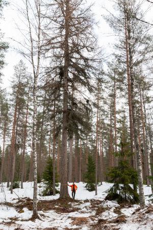 Fiskars skogschef Robert Lindholm vid ett lärkträd i skogen.