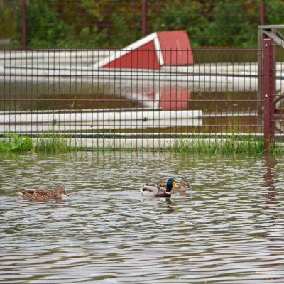 Änder simmar på en översvämmad minigolfplan.