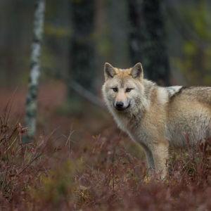 En varg i skogen på hösten.