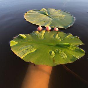En hand i vattnet som håller i ett näckrosblad.