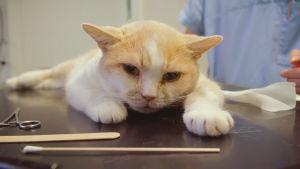 Tommi-kissa rauhoitettuna eläinlääkärin pöydällä
