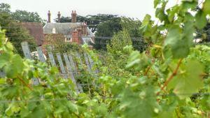 vinrankor, i bakgrunden 1600-talsherrgården Forty Hall manor.