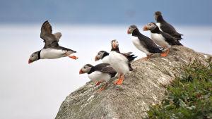 Millainen on pesimäkausi Keski-Norjan ja Lofoottien lintuvuorilla?