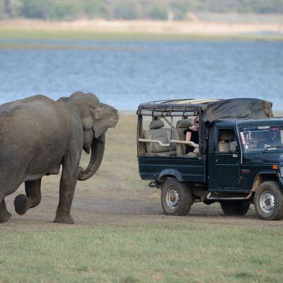 Elefant på Sri Lanka