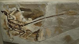nelisiipisen hirmuliskon, mikroraptorin, fossiili