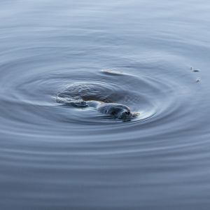 Norppa uiskeltelee Saimaassa.