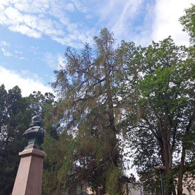 Anders Chydeniuksen patsas ja puita Kokkolassa niin sanotussa Naakkapuistossa.