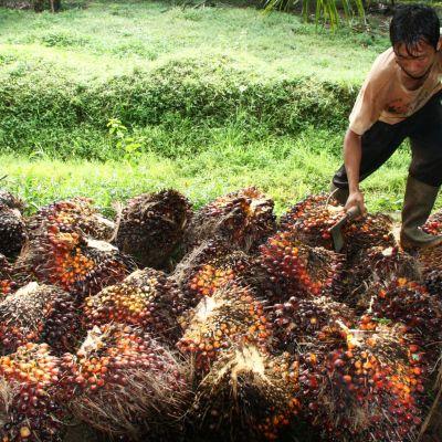 Työntekijä kerää öljypalmun hedelmiä Indonesiassa marraskuussa vuonna 2018.