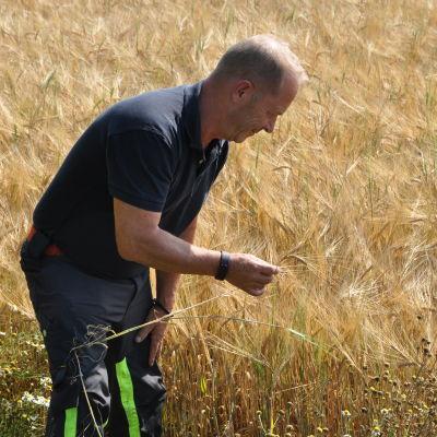 Peter Fritzén står nerböjd mot en gyllengul kornåker och håller i ett strå med kornax.