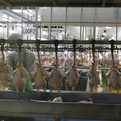 Thailands största kycklingproducent Charoen Pokphand Foods (CPF) fabrik norr om Bankok.