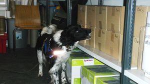Tullens hund söker efter otillåtna läkemedel