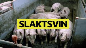 Thumbnail för Spotlight om grisuppfödning i Finland