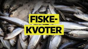 Affishbild för Spotlight om fiskekvoter 11.5.2020