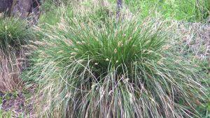 Vippstarr (Carex paniculata).