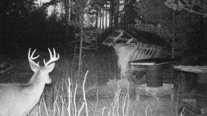 Hjort vid matningspunkt i Kyrkslätt