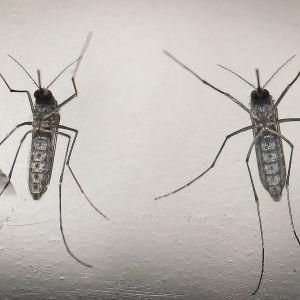 Två myggor som kan föra vidare zikaviruset.