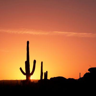 Kaktusar i öknen i solnedgången