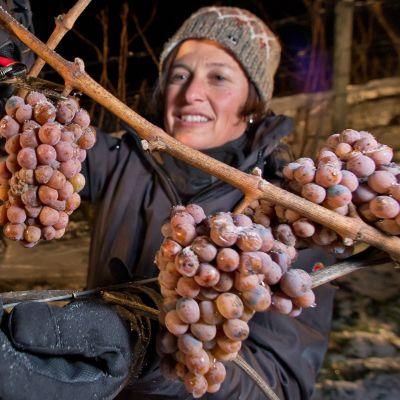 En kvinna skördar druvor för att användas till att brygga eiswein