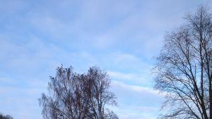 träd med kajor