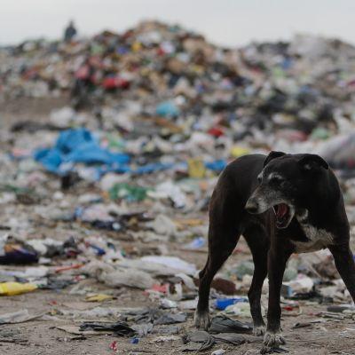 Koira kaatopaikalla Lujanissa, Argentiinassa. Arviolta noin puolet ruokajätteestä on syömiskelpoista ja puolet syömäkelvotonta, kuten kuoria ja luita.