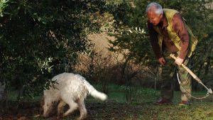 Man i brun skjorta och gröna byxor väntar på att se om tryffelhund hittar tryffel. Hunden nosar på marken bredvid mannen och letar efter tryffel.