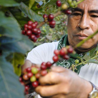 Rättvis handel, kaffeodling.