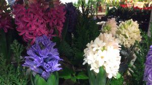 Julhyacinter i olika färger
