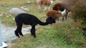 Flera alpackor betar.