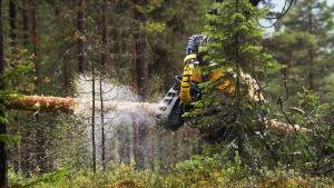 Skogsmaskin sågar en tallstam i skog.