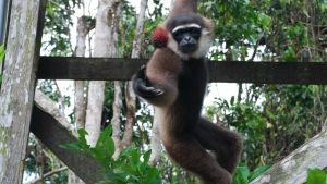 En apa leker med en boll och hänger från en träbalk i ett grönområde.