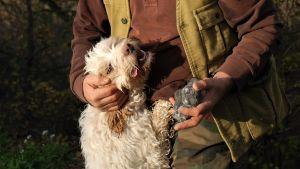 Den vita tryffelhunden Pimpa krafsas om av man i brun skjorta efter att ha hittat tryffel. Mannen håller i tryffeln medan han håller om hunden.
