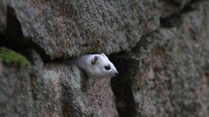 valkoinen kärppä kurkistaa kivimuurin kolosta