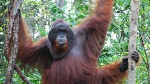 En orangutang hänger i ett träd.