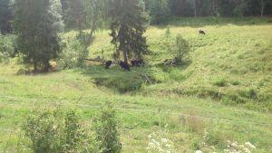 Kor används i miljöbevarande syfte i nationalparken i Sibbo storskog