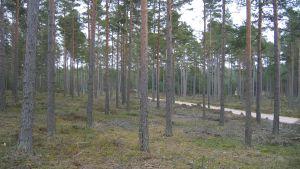 Tallskog, kluven av en smal väg.