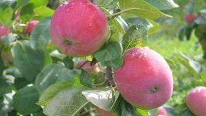 Äppel på gren