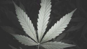 En detaljbild på en cannabisplanta.